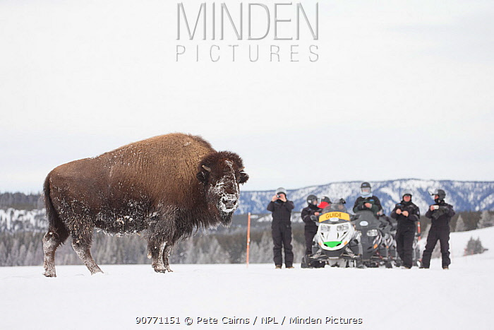 Tourists watching American bison (Bison bison) Yellowstone National Park, Wyoming, USA, February 2013.
