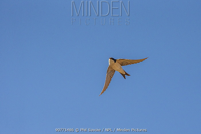 House martin (Delichon urbicum) in flight,  Monmouthshire, Wales UK, June.