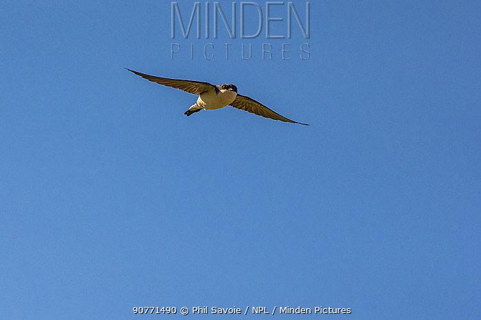 House martin (Delichon urbicum) in flight,  Monmouthshire, Wales UK, June.