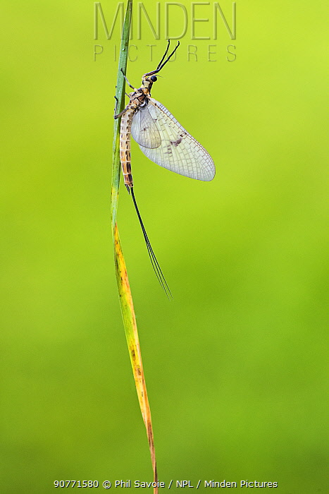 Mayfly (Ephemera danica) male, River Usk, Monmouthshire, Wales, UK, May.