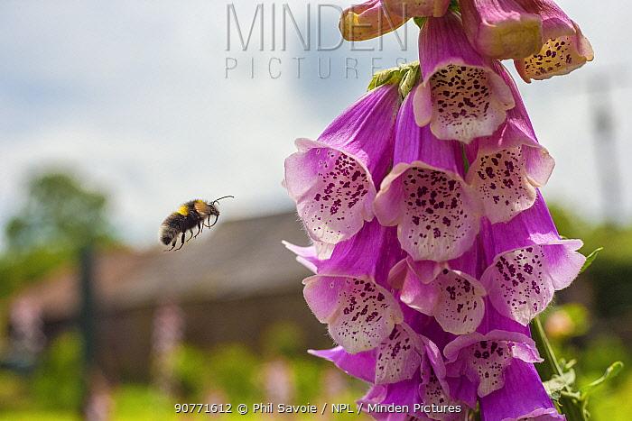 Garden bumblebee (Bombus hortorum) flying to Foxglove (Digitalis purpurea) Monmouthshire, Wales, UK. June.