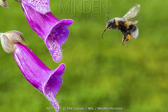 Garden bumblebee (Bombus hortorum) flying to feed on Foxglove (Digitalis purpurea) Monmouthshire, Wales, UK. June.