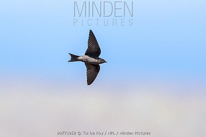 Galapagos martin (Progne modesta), female, feeding on the wing, Galapagos.