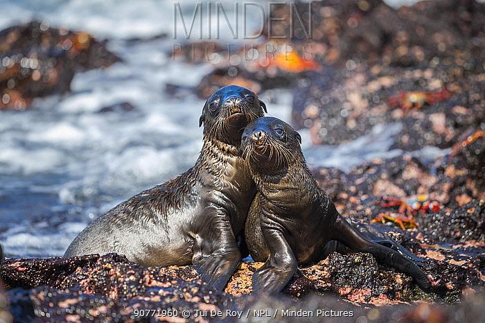 Galapagos sea lion (Zalophus wollebaeki) two pups hauled out on beach, Galapagos.