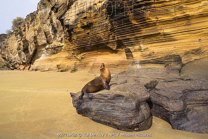 Galapagos sea lion (Zalophus wollebaeki) hauled out under cliffs, Galapagos.