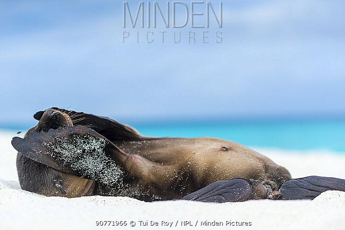 Galapagos sea lion (Zalophus wollebaeki) with flippers over eyes, Galapagos.