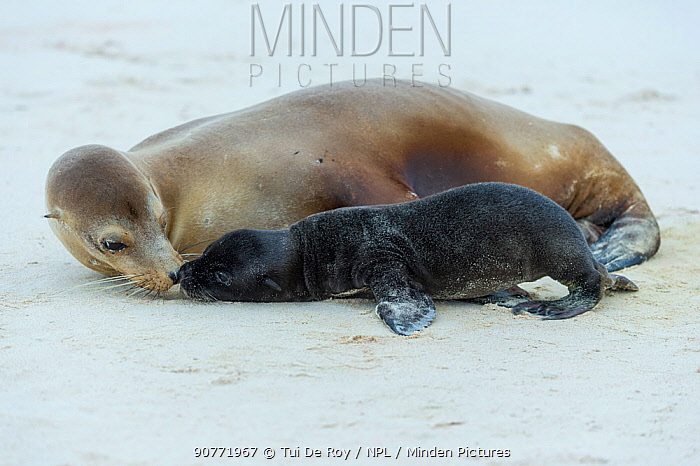 Galapagos sea lion (Zalophus wollebaeki) mother and pup on beach, Galapagos.