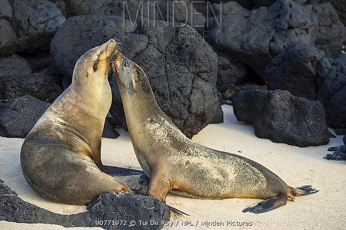 Galapagos sea lion (Zalophus wollebaeki) two hauled out interacting, Galapagos.