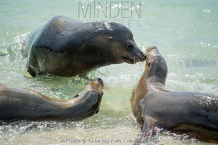 Galapagos sea lions (Zalophus wollebaeki) interacting on the shore, Galapagos.