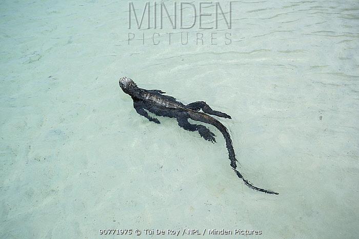 Marine iguana (Amblyrhynchus cristatus) swimming in the shallows,  Santa Cruz Island, Galapagos.