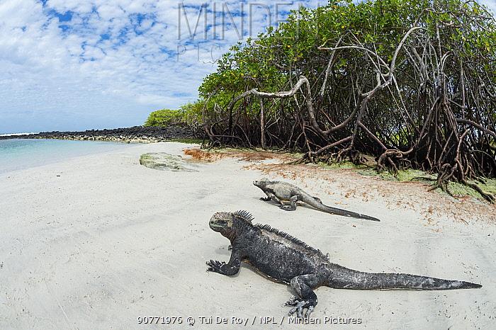 Marine iguana (Amblyrhynchus cristatus) on beach, Santa Cruz Island, Galapagos.