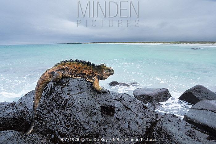 Marine iguana (Amblyrhynchus cristatus) on rocks, Santa Cruz Island, Galapagos.