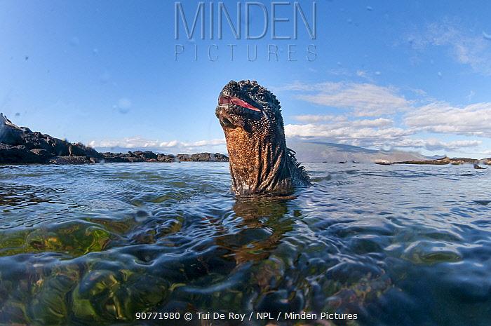 Marine iguana (Amblyrhynchus cristatus) coming out of water, Galapagos.