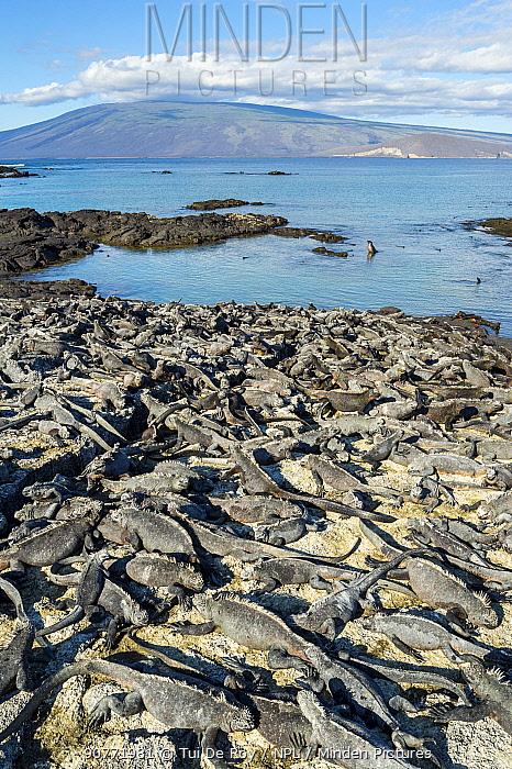 Marine iguana (Amblyrhynchus cristatus) large group basking on shore, Fernandina Island, Galapagos.