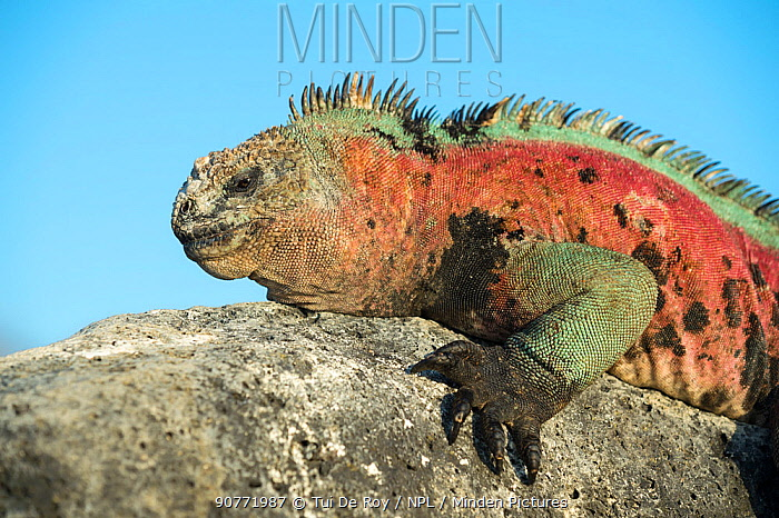 Marine iguana (Amblyrhynchus cristatus), male in full breeding colours Floreana Island, Galapagos.