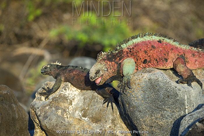 Marine iguana (Amblyrhynchus cristatus), breeding male with smaller, darker females Floreana Island, Galapagos.