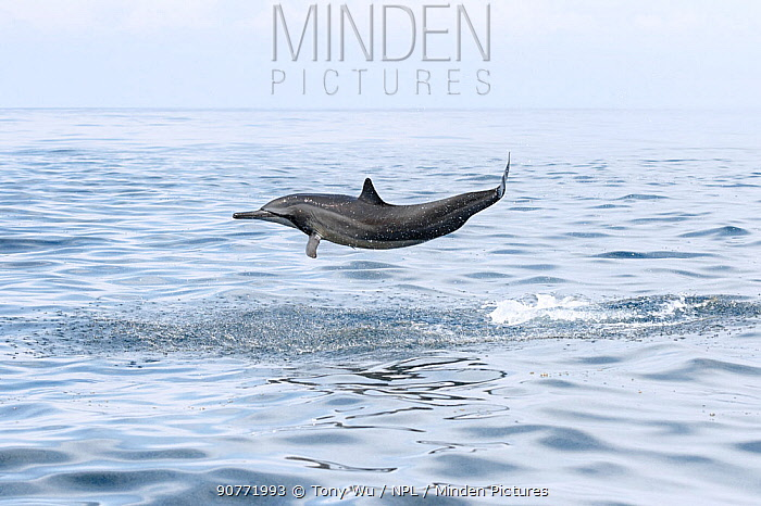 Spinner dolphin (Stenella longirostris) launching itself out of the water. Sri Lanka.