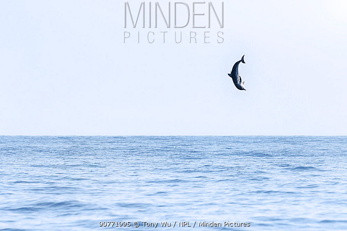 Spinner dolphin (Stenella longirostris) leaping exceptionally high into the air, Sri Lanka.