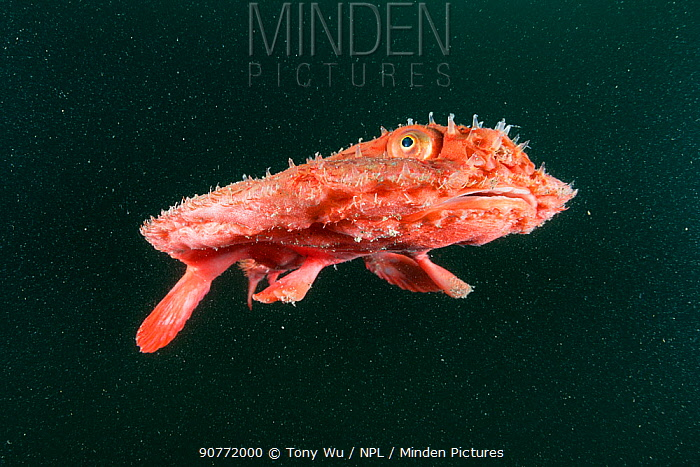 Starry handfish (Halieutaea stellata) descending back to depth after released from a fishing net. Kochi, Japan.