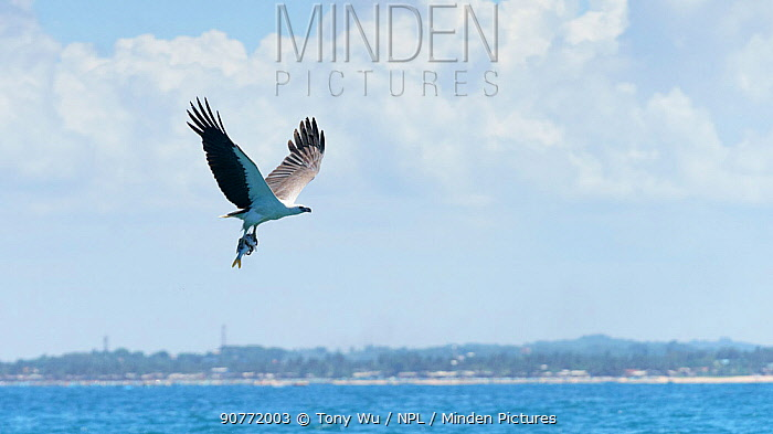 White-bellied sea eagle (Haliaeetus leucogaster) in flight with a fish grasped in its talons. Sri Lanka