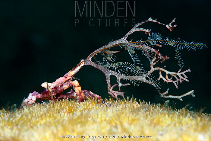 Arrowhead crab (Huenia heraldica) carrying around a  hydroid for disguise, Kashiwajima, Japan.