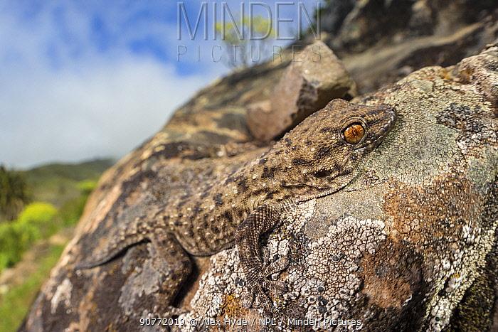 La Gomera gecko (Tarentola gomerensis) camouflaged on a lichen-encrusted rock. Endemic species, La Gomera, Canary Islands. March.
