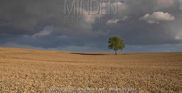 Walnut tree (Juglans regia) in the middle of a wheat field, Viller Le Sec, Picardy, France. August
