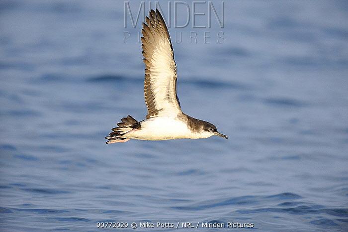 Manx shearwater (Puffinus puffinus) in flight off Lleyn Peninsula. North Wales, UK. June.