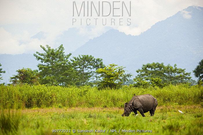 Indian rhinoceros (Rhinoceros unicornis) Manas National Park UNESCO World Heritage Site, Assam, India.