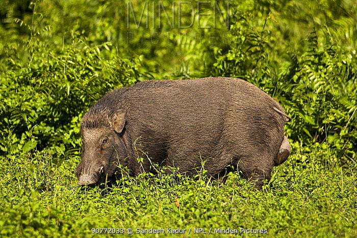 Wild boar (Sus scrofa) male, Manas National Park UNESCO World Heritage Site, Assam, India.