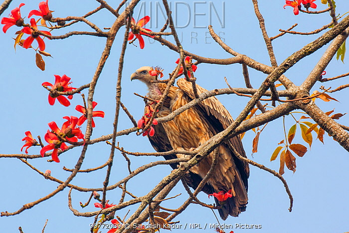 Indian vulture (Gyps indicus) Manas National Park UNESCO World Heritage Site, Assam, India.