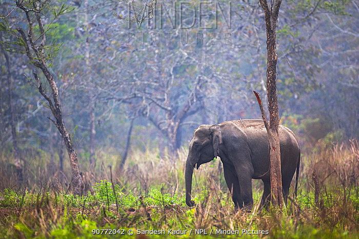 Indian elephant (Elephas maximus) Manas National Park UNESCO World Heritage Site, Assam, India.