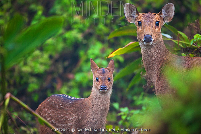 Indian hog deer (Hyelaphus porcinus) mother and fawn, Manas National Park UNESCO World Heritage Site, Assam, India.