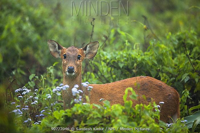 Indian hog deer (Hyelaphus porcinus) Manas National Park UNESCO World Heritage Site, Assam, India.