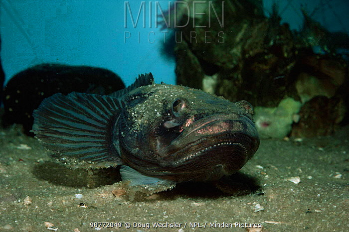 Plainfin midshipman {Porichthys notatus} with photopores on chin, occurs in  Pacific ocean. captive