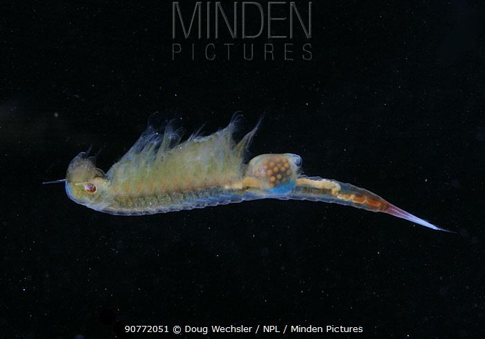 Fairy Shrimp {Eubranchipus sp} female with eggs visible inside her, vernal pool, Pennsylvania, USA