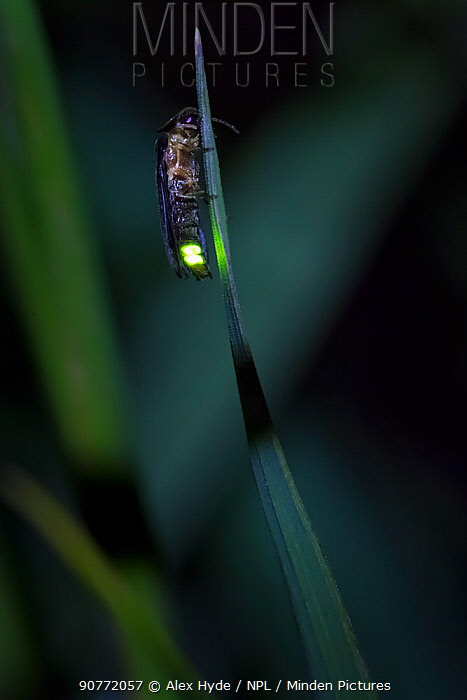 Firefly (Lampyrinae) male glowing on grass stem at night. Nordtirol, Austrian Alps, July.
