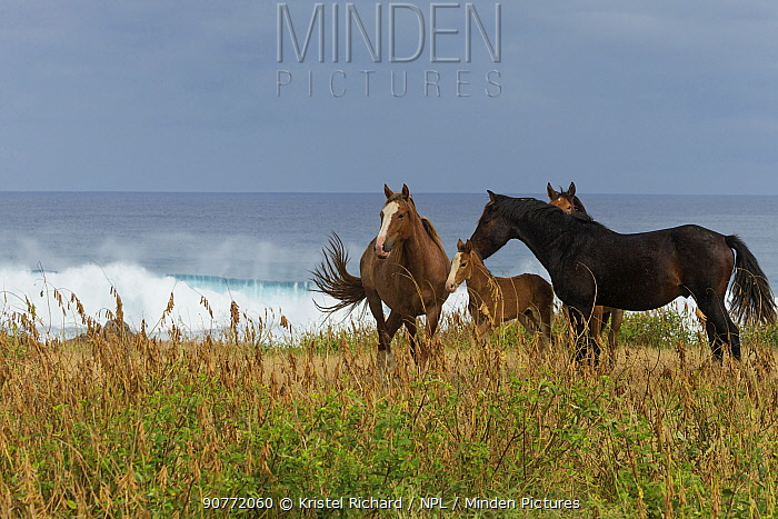 A wild Rapa Nui horse / stallion and his mare, filly and colt, standing near the sea, Rapa Nui National Park UNESCO World Heritage Site, Easter Island / Rapa Nui, Chile.