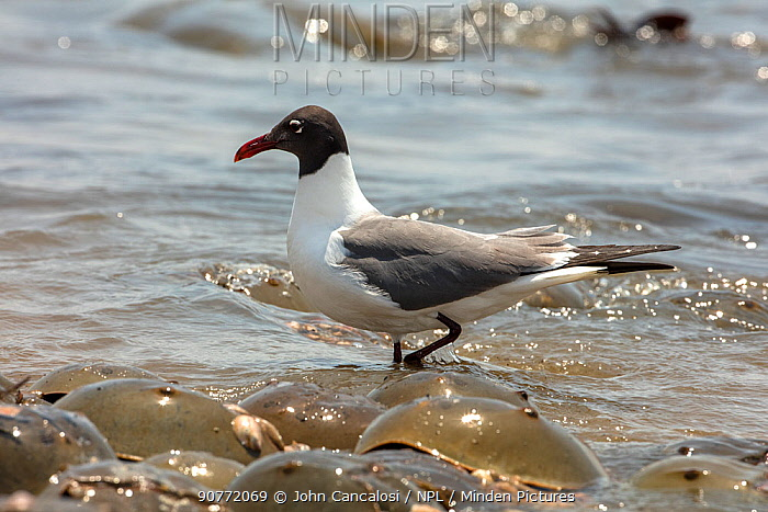 Laughing gull (Leucophaeus atricilla) on beach. The gulls are feeding on Atlantic horseshoe crab (Limulus polyphemus) eggs while the crabs are mating, Delaware Bay, New Jersey, USA, May.