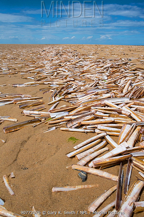 Razor shell (Ensis arcuatus) empty shells wahsed up on  sand beach, Norfolk, England, July 2016.