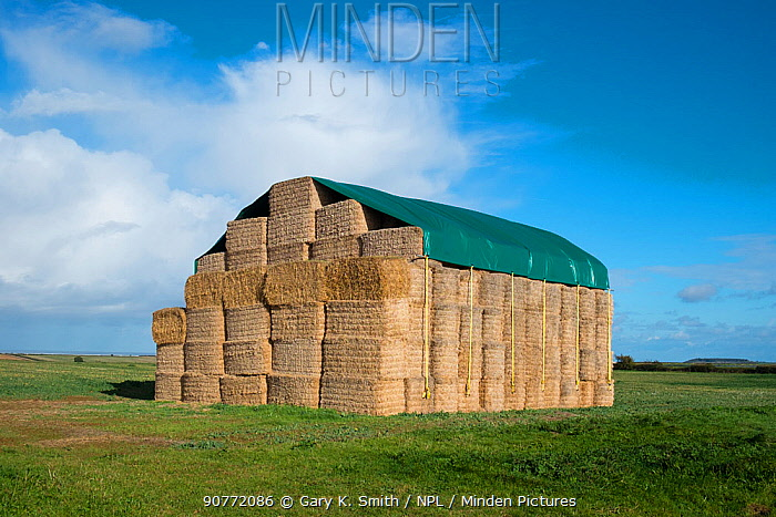 Straw bales, stacked and covered with tarpaulin, Norfolk, England, UK. November 2016.