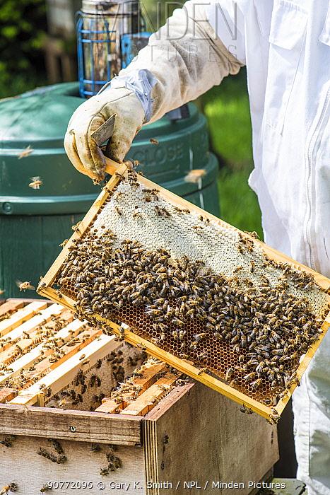 Beekeeper inspecting brood chamber on a honey bee hive. Norfolk, England, June 2017.
