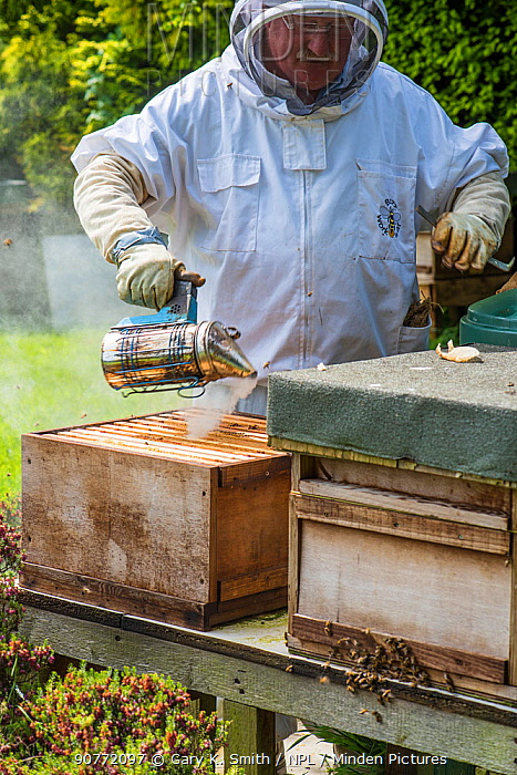 Beekeeper using smoker to pacify bee colony prior to inspection, Norfolk, England, May. Norfolk, England, June 2017.