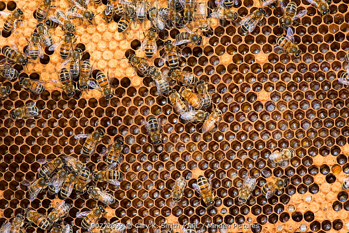Honey Bee colony showing female worker bees on brood chamber comb. Norfolk, England, June 2017.