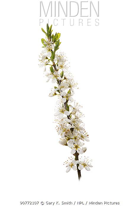 Blackthorn (Prunus spinosa) flowers.
