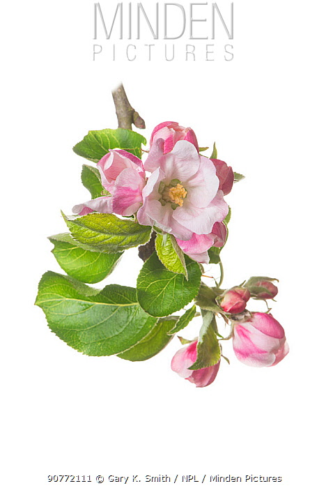 Clutivated Apple tree blossom (Malus domestica 'Bramley's Seedling')