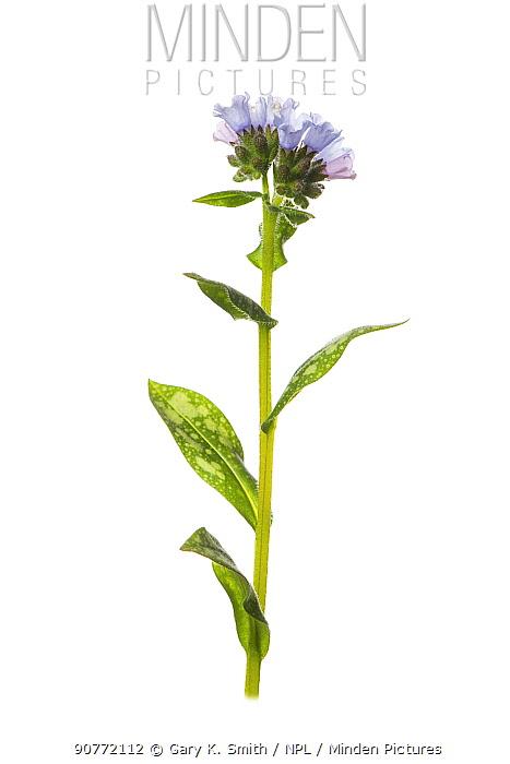 Common lungwort (Pulmonaria officinalis) flower.