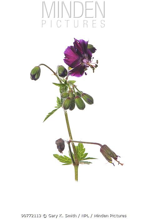 Cultivated geranium flower (Geranium phaeum 'Raven')