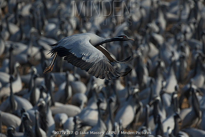 Demoiselle crane (Grus virgo) flying over dense flock  at Khichan during migration. India