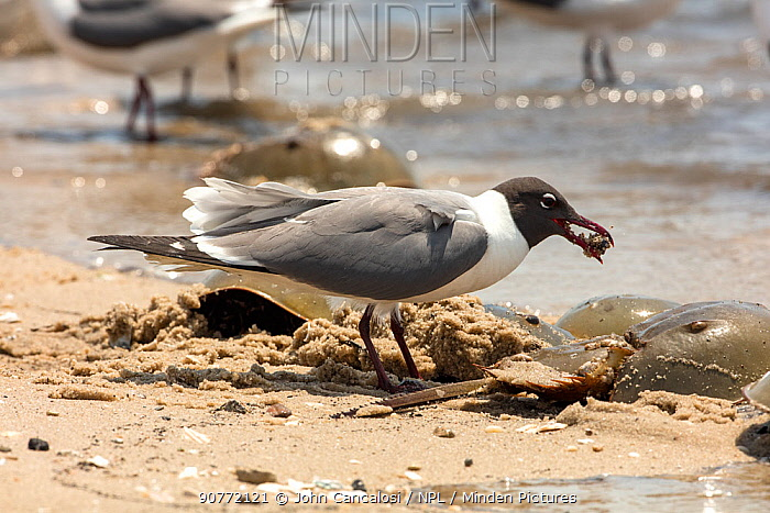 Laughing gull (Leucophaeus atricilla) feeding on Atlantic horseshoe crab (Limulus polyphemus) eggs, while the crabs are mating, Delaware Bay, New Jersey, USA, May.